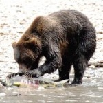Bear Salmon Picture1